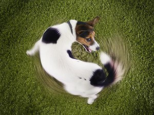 why-do-dogs-chase-their-tails